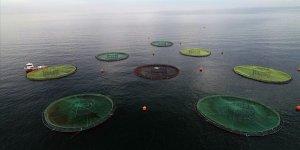 Balık severlerin yeni gözdesi: Karadeniz somonu
