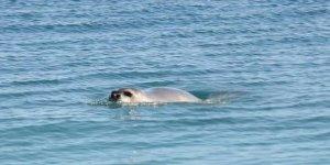 Sahil yürüyüşünde, nesli tükenen fok balığıyla karşılaştılar