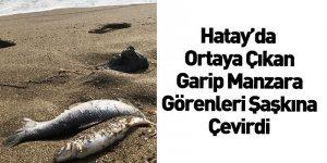 Hatay'da Binlerce Ölü Balık Kıyıya Vurdu