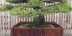 Hiroşima'ya Atılan Atom Bombası Sonrası Hayatta Kalan Umut Ağacı