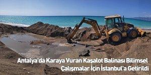 Antalya'da Karaya Vuran Kaşalot Balinası Bilimsel Çalışmalar İçin İstanbul'a Getirildi