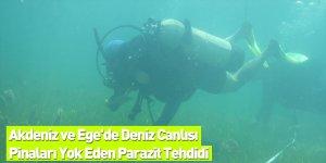 Akdeniz ve Ege'de Deniz Canlısı Pinaları Yok Eden Parazit Tehdidi