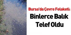 Bursa'da Çevre Felaketi: Binlerce Balık Telef Oldu