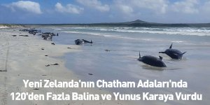 Yeni Zelanda'nın Chatham Adaları'nda 120'den Fazla Balina ve Yunus Karaya Vurdu