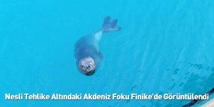 Nesli Tehlike Altındaki Akdeniz Foku Finike'de Görüntülendi