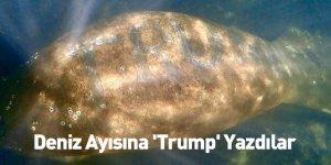 Deniz Ayısına 'Trump' Yazdılar