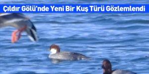 Çıldır Gölü'nde Yeni Bir Kuş Türü Gözlemlendi