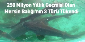 250 Milyon Yıllık Geçmişi Olan Mersin Balığı'nın 3 Türü Tükendi