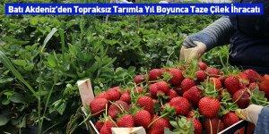 Batı Akdeniz'den Topraksız Tarımla Yıl Boyunca Taze Çilek İhracatı