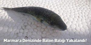 Marmara Denizinde Balon Balığı Yakalandı!