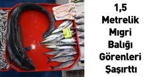1,5 Metrelik Mıgri Balığı Görenleri Şaşırttı