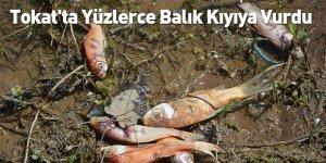 Tokat'ta Yüzlerce Balık Kıyıya Vurdu