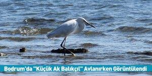 """Bodrum'da """"Küçük Ak Balıkçıl"""" Avlanırken Görüntülendi"""
