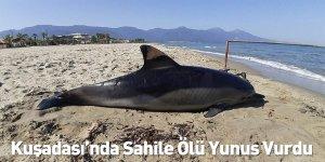 Kuşadası'nda Sahile Ölü Yunus Vurdu