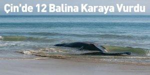 Çin'de 12 Balina Karaya Vurdu
