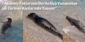 """""""Akdeniz Foklarının Dörtte Üçü Yunanistan ile Türkiye Kıyılarında Yaşıyor"""""""