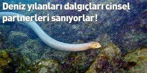 Deniz yılanları dalgıçları cinsel partnerleri sanıyorlar!