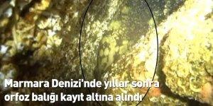 Marmara Denizi'nde yıllar sonra orfoz balığı kayıt altına alındı