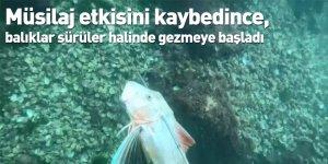 Müsilaj etkisini kaybedince, balıklar sürüler halinde gezmeye başladı
