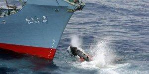 Türkiye'den ABD ve AB ile balina ittifakı