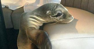 Denizaslanı acıkınca bakın ne yaptı?