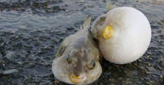 Balon balığı tehlikesi için önlem çağrısı