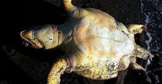 Caretta carettalar balık ağları yüzünden ölüyor