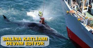 Japon balina avcıları Antarktika'da katliam yaptı