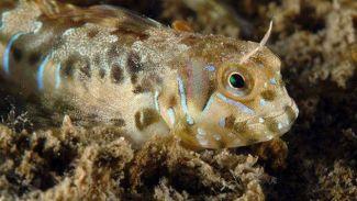 Horozbina balığında kist oluşturan parazit keşfedildi