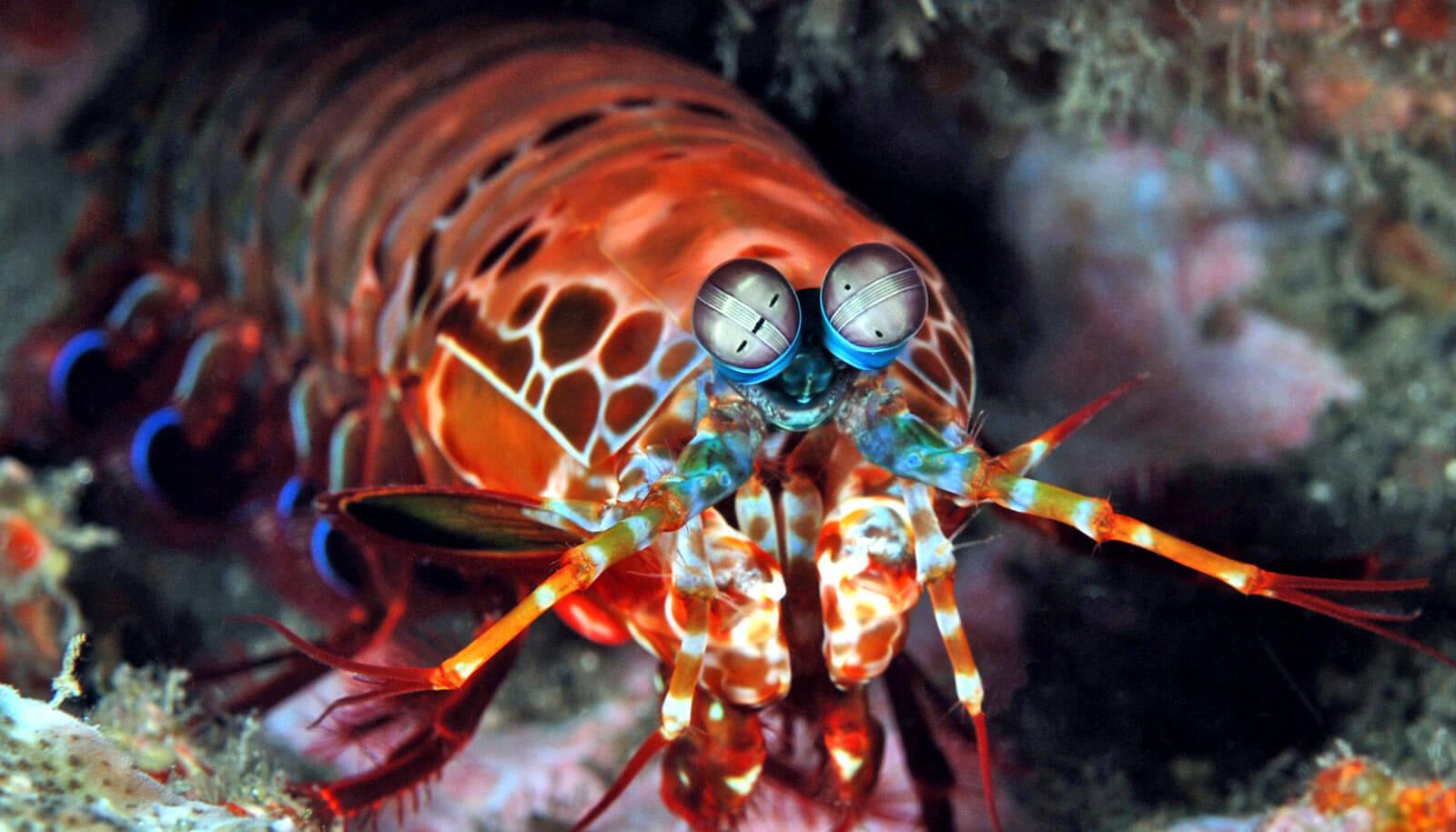 mantis_karides1.jpg